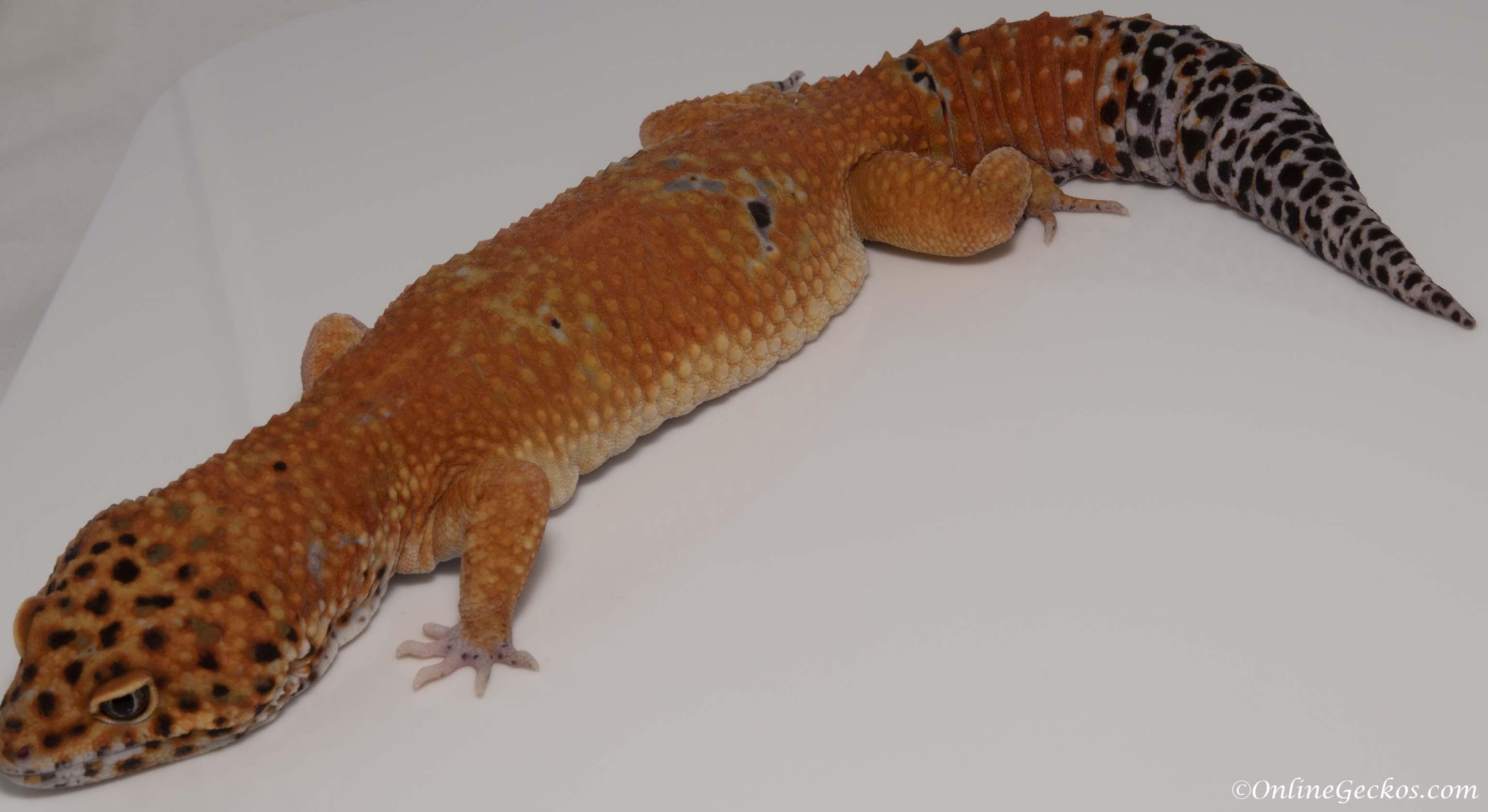 striped leopard gecko petco www