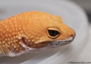 Blood Super Hypo Leopard Gecko