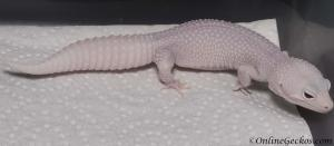 onlinegeckos.com leopard gecko breeder collection mack snow white knight female
