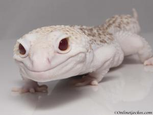 onlinegeckos.com leopard gecko breeder collection super radar atlas male