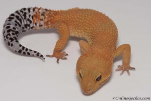 onlinegeckos.com leopard gecko breeder collection tangerine tornado