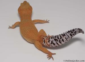 onlinegeckos.com leopard gecko breeder collection tangerine tornado female