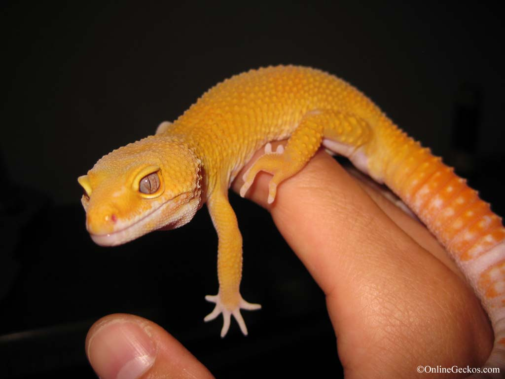 Tremper Sunglow Apollo