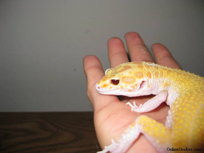 Leopard Gecko Care Guide - Caring for Pet Geckos - Leopard