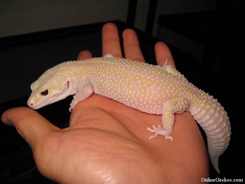 Adorable Leopard Geckos Page 82