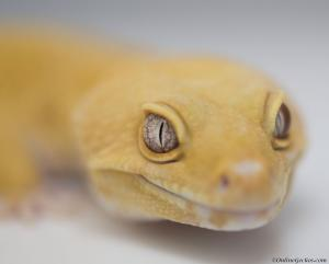 OnlineGeckos.com leopard gecko breeder giant tremper sunglow zeus