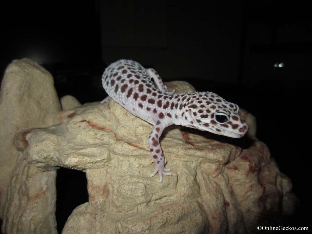 Sold - Super Snow 66% het Tremper Female (ss052911F)Leopard Gecko Hatchling Tank Setup
