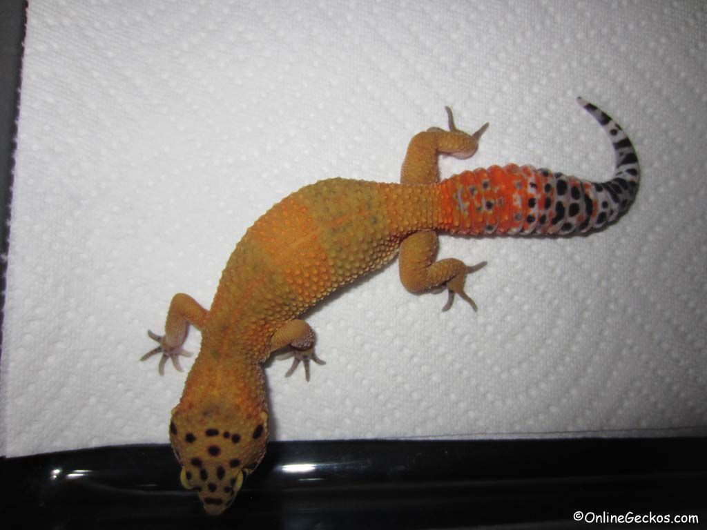 Sold - Super Hypo Tangerine Carrot-tail (M7F27101413F)