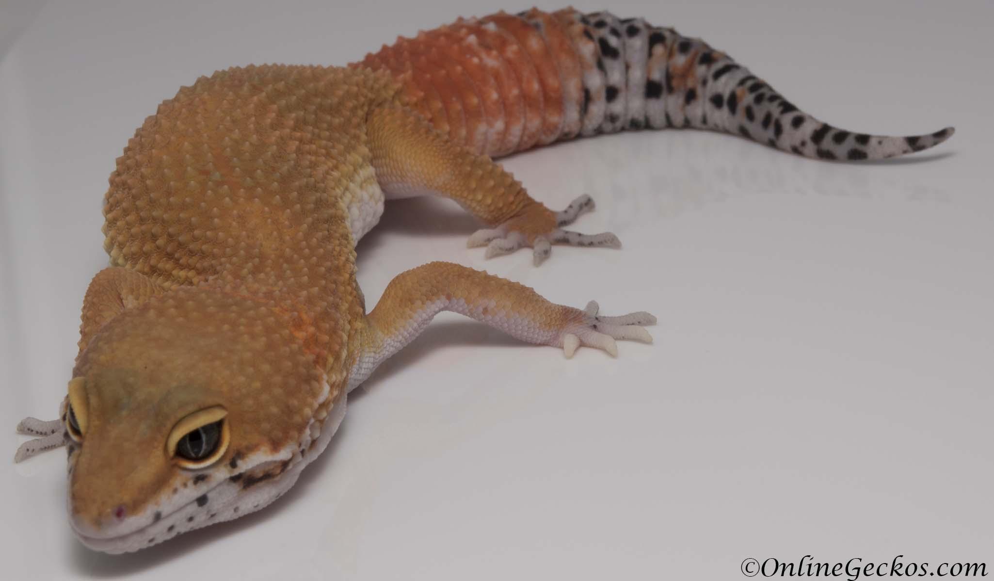 Male Sunburst Tangerine Leopard Gecko Amazing Color