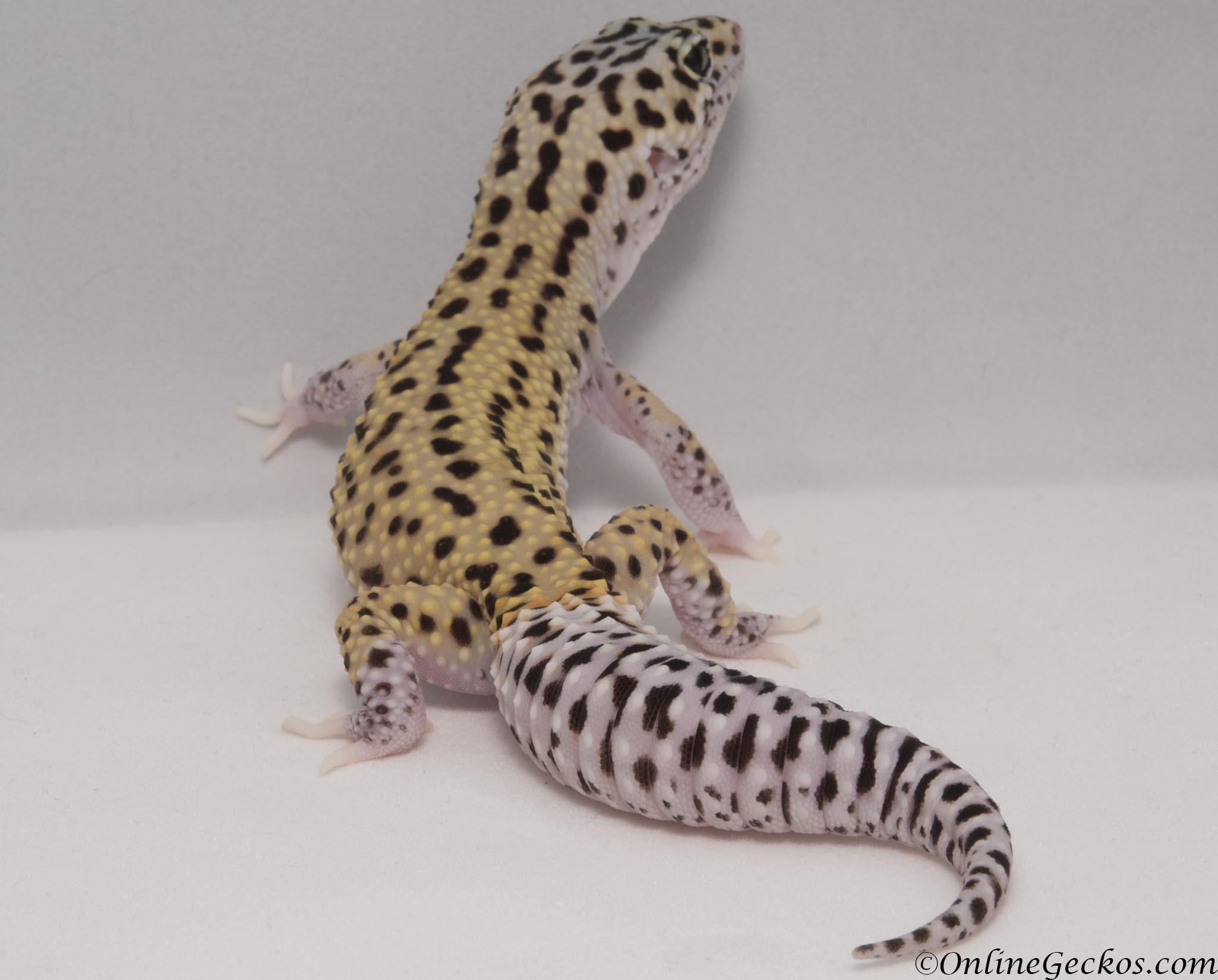 Gecko Leopardo Precio Argentina - Best Leopard 2017