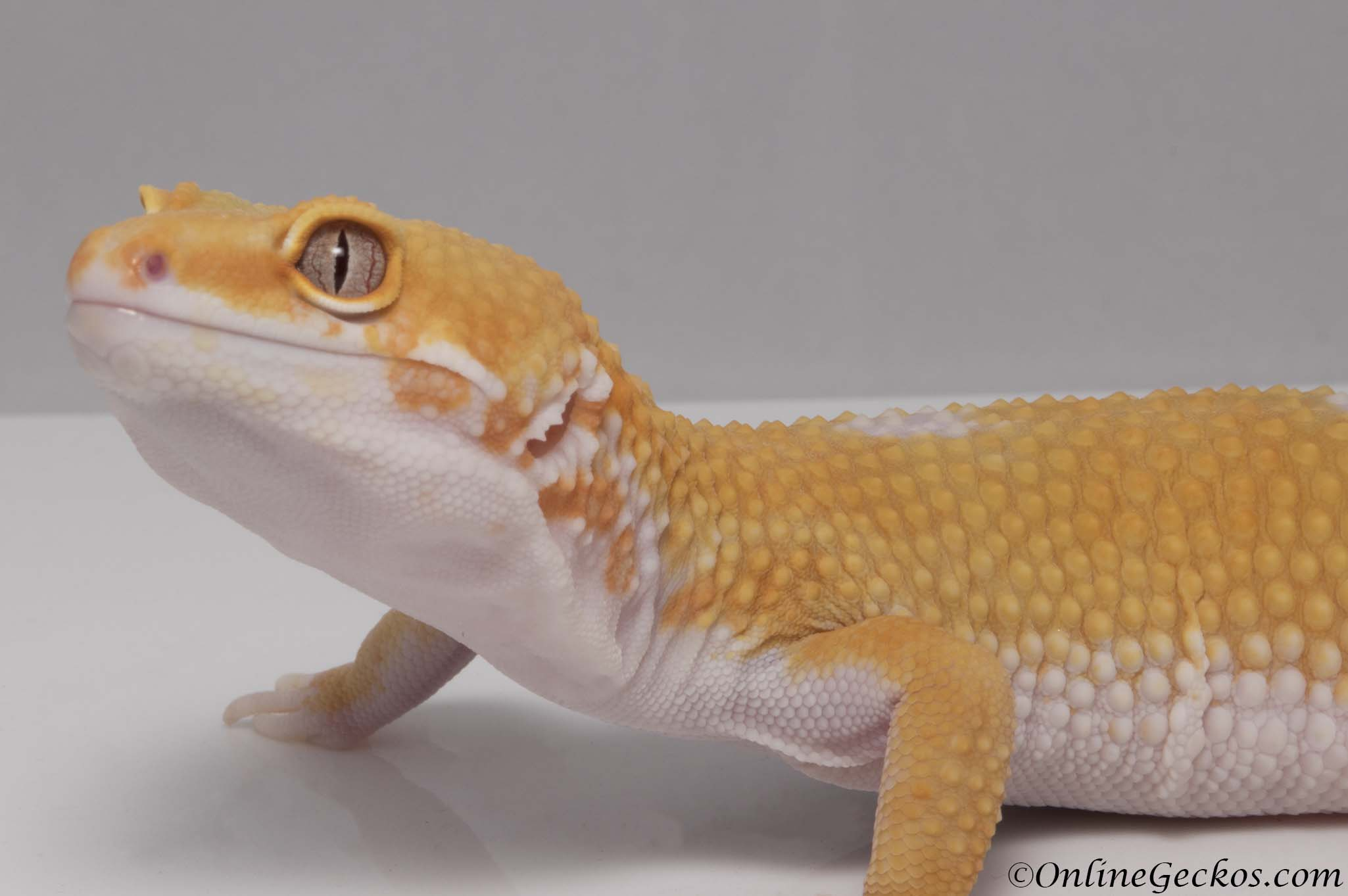 Giant Tremper Sunglow Leopard Gecko For Sale