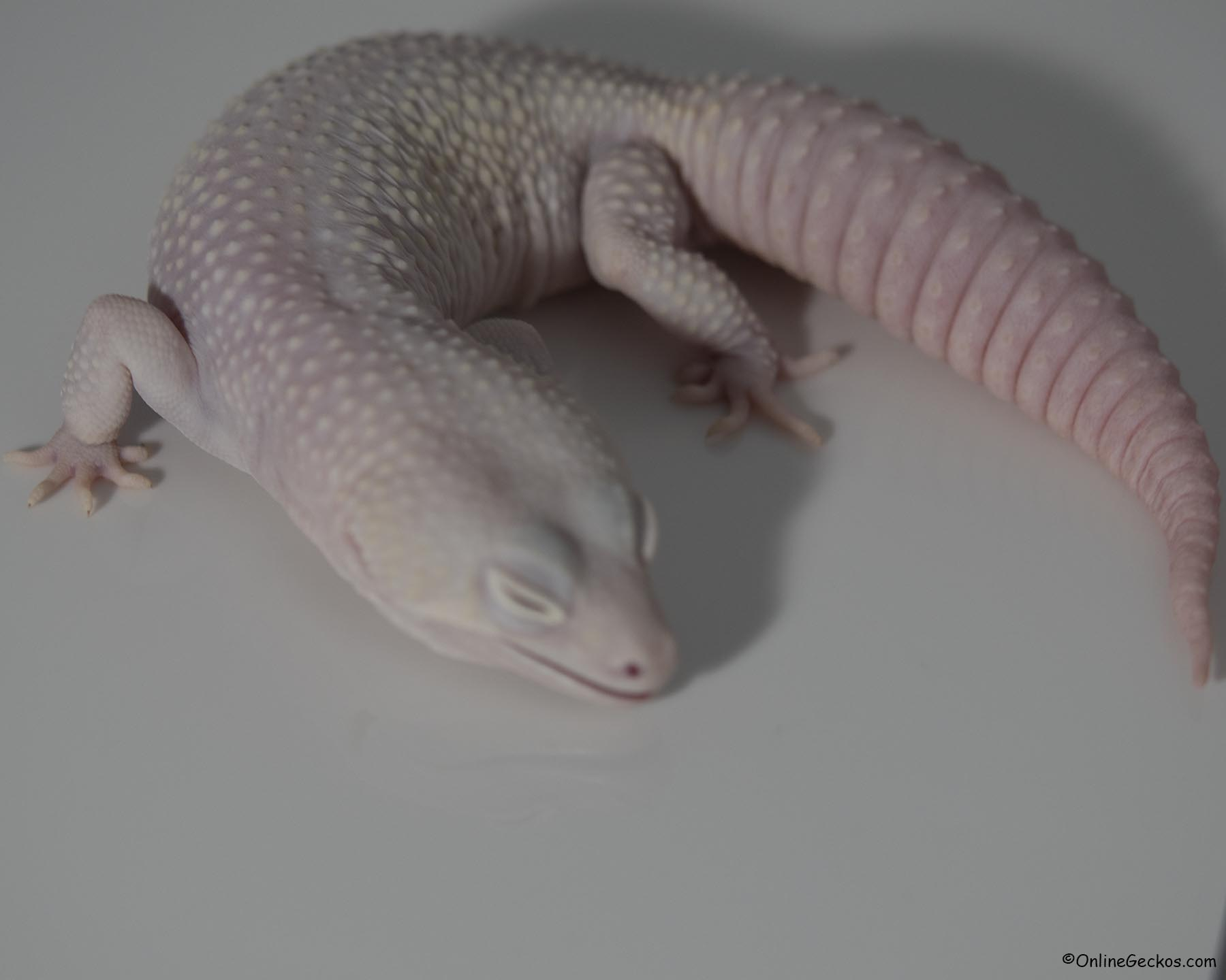 leopard gecko for sale mack snow diablo blanco male