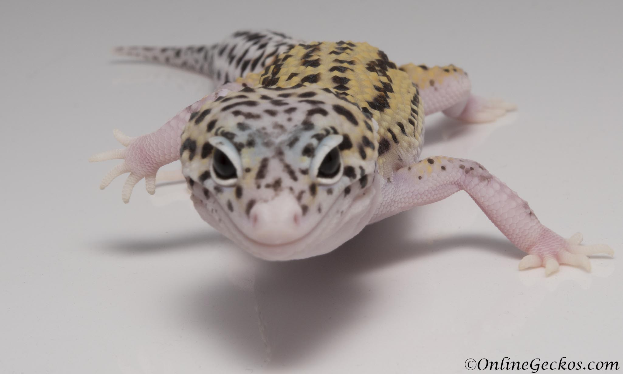 Mack Snow Eclipse Leopard Gecko For Sale