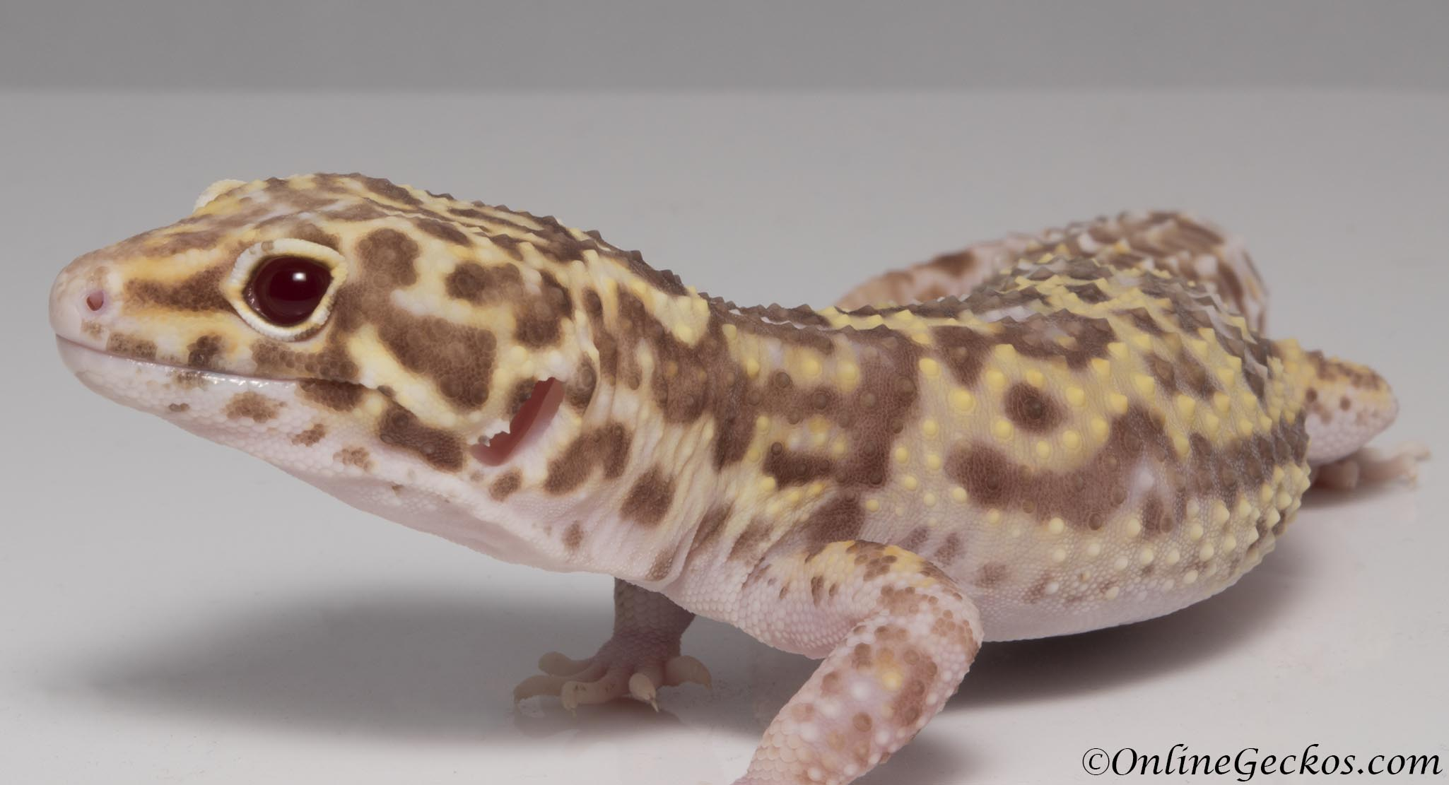 Pix For Albino Leopard Gecko Eyes