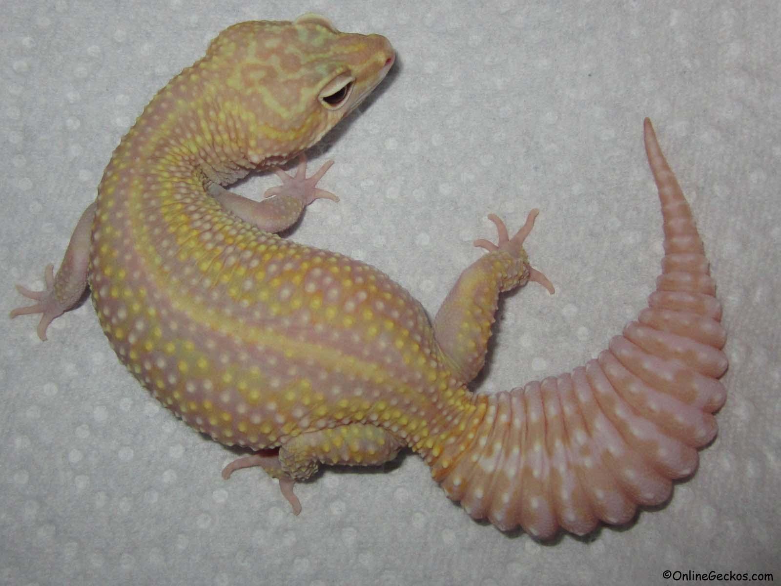 Tremper albino leopard gecko eyes