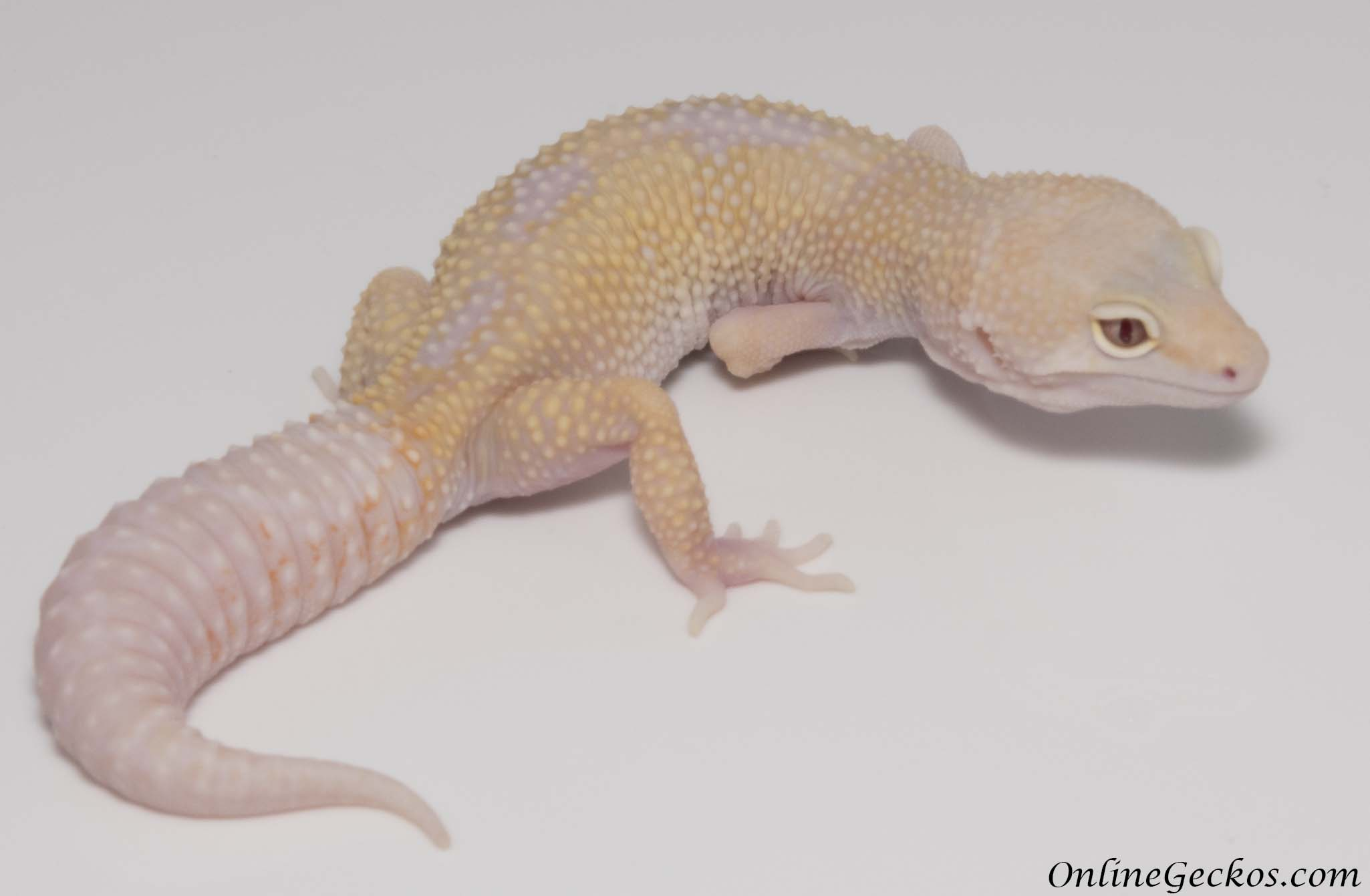 Crested Gecko Morph Colors Morphs And Traits