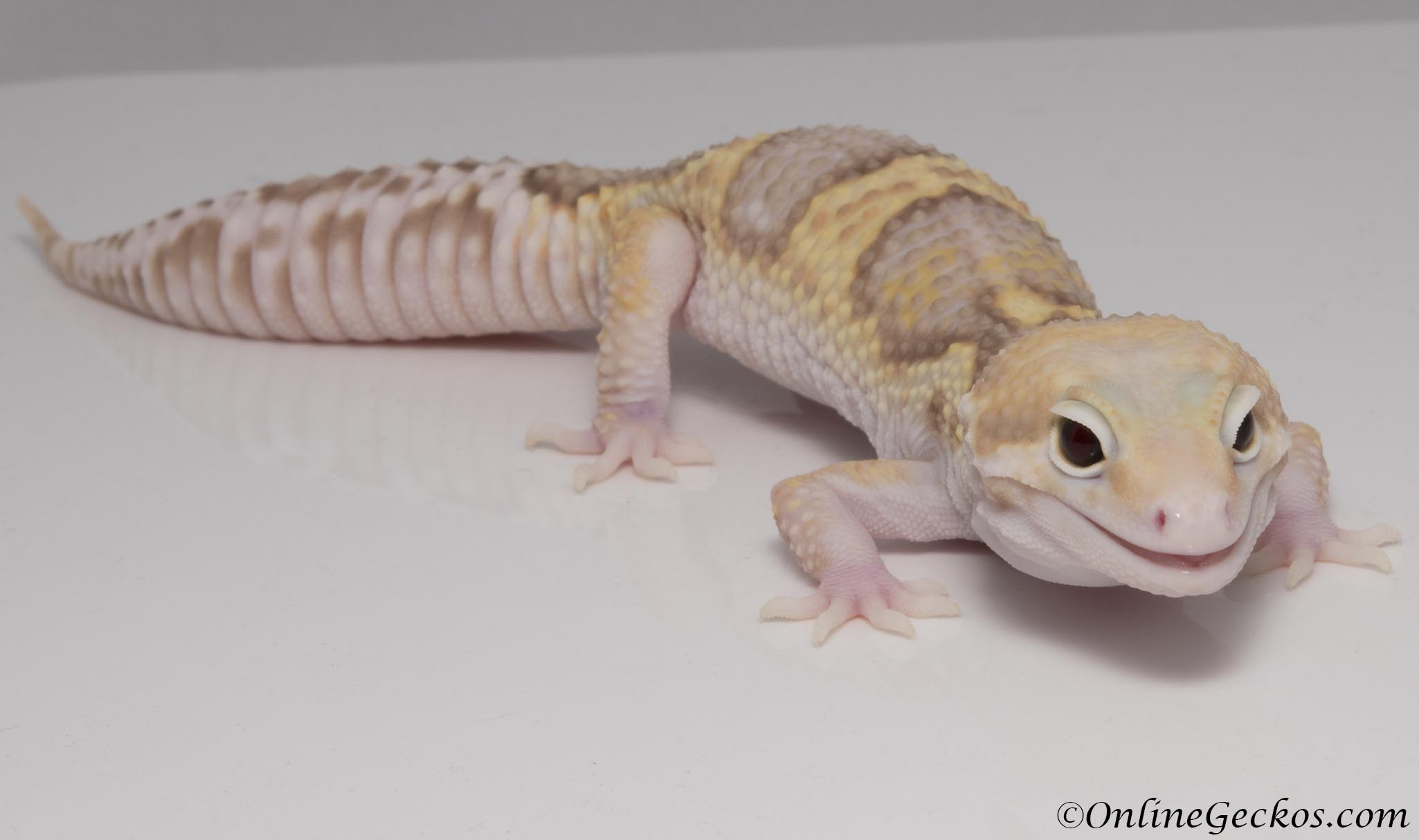 Mack Snow Typhoon Leopard Gecko For Sale