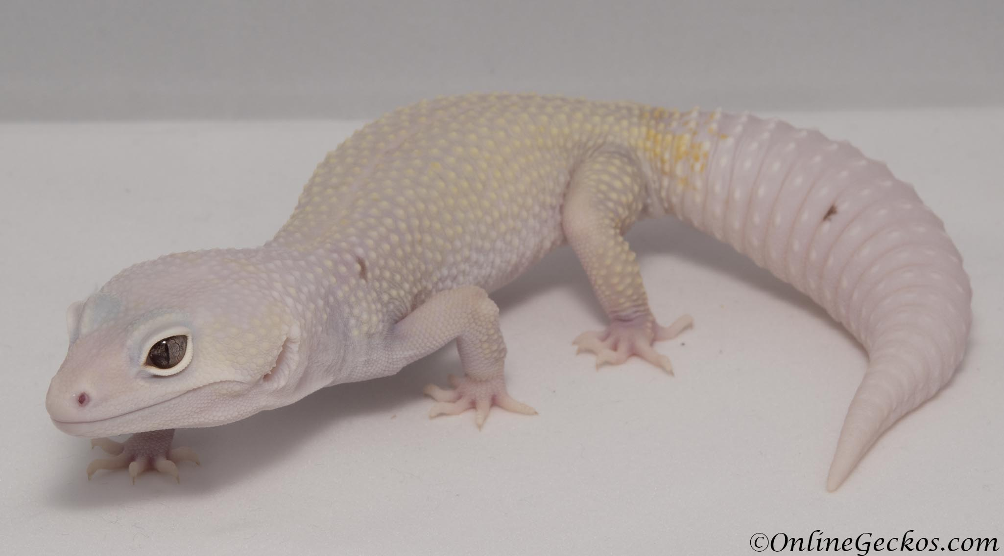 onlinegeckos leopard gecko for sale bell blazing blizzard female