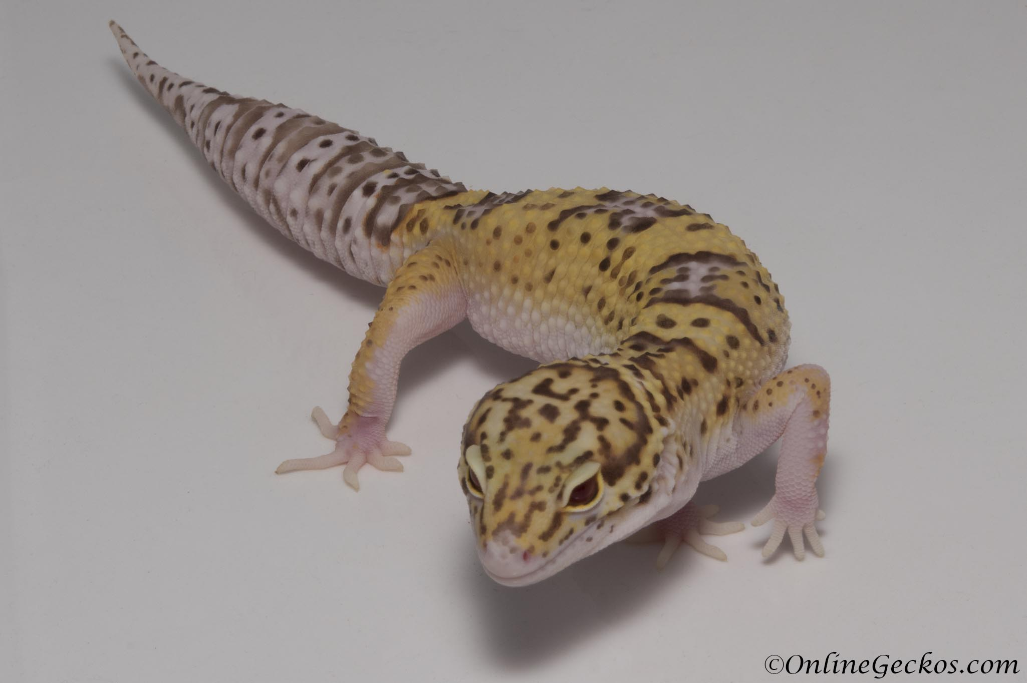 Radar het White Knight Leopard Gecko For Sale