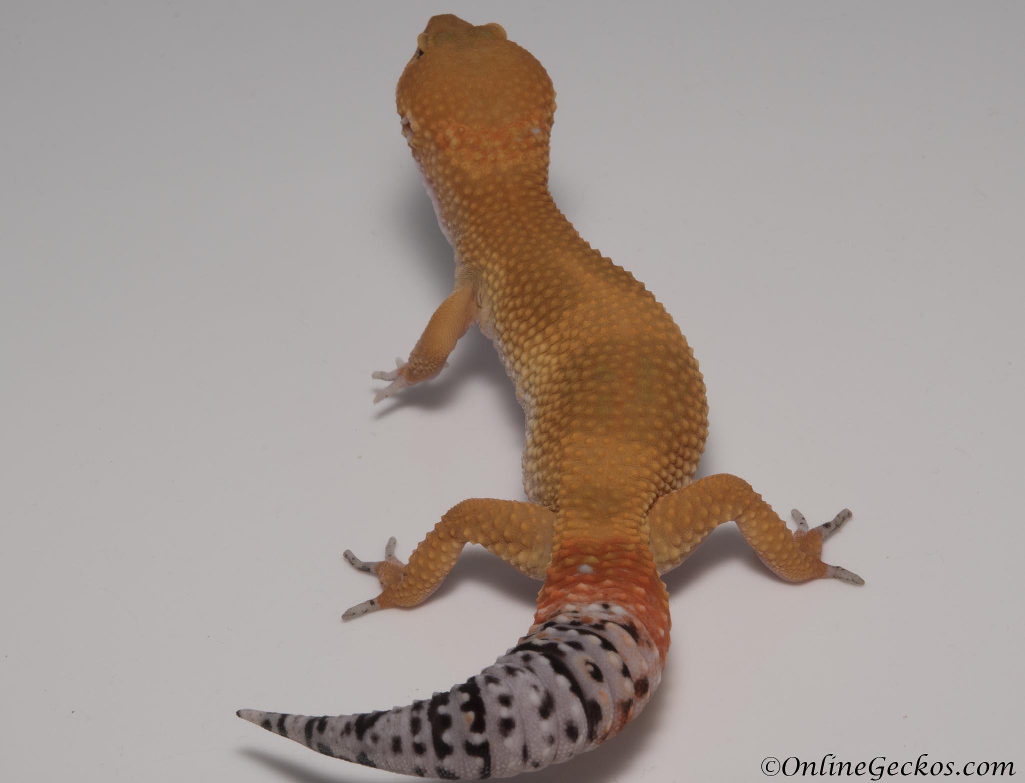 Tangerine Tornado Leopard Gecko For Sale