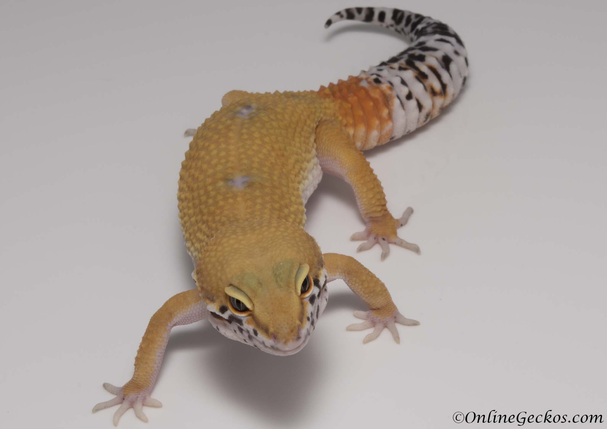W&Y Tangerine het Radar Leopard Gecko For Sale