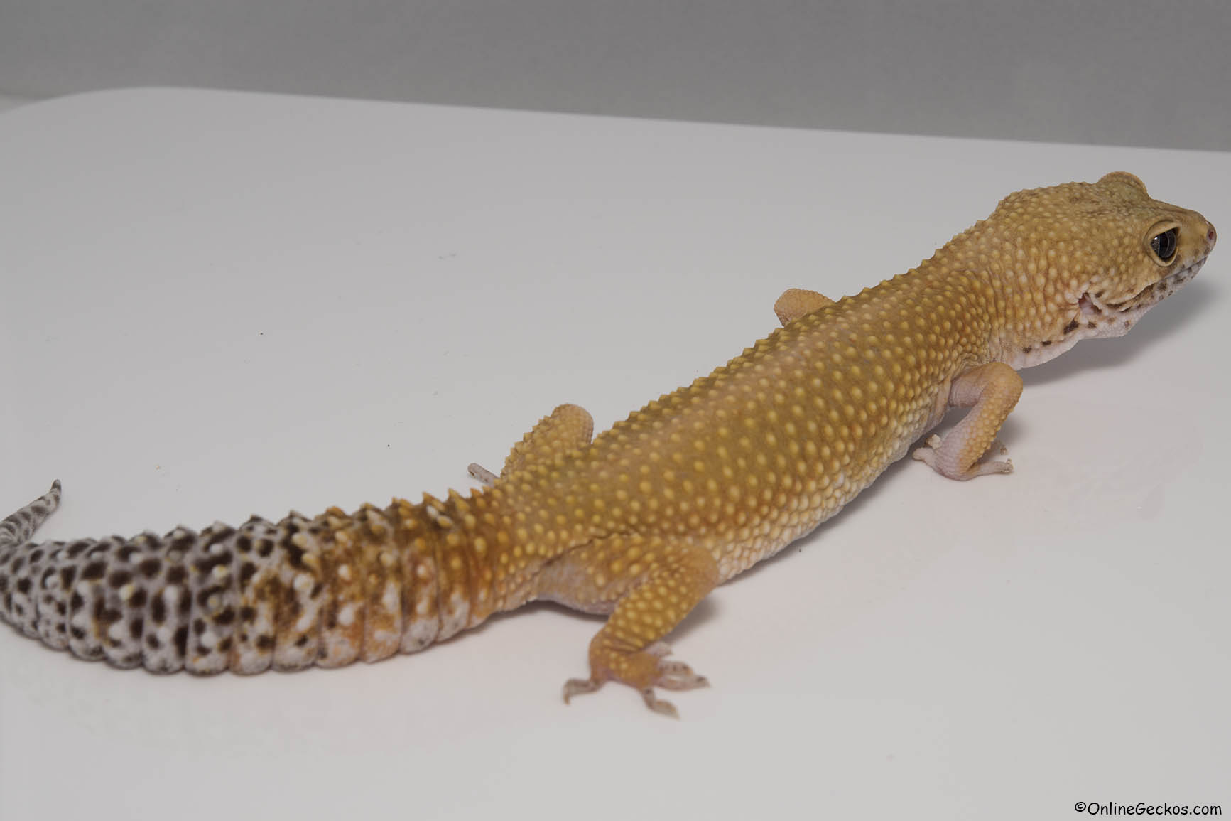 leopard gecko for sale super hypo tangerine carrot-tail baldy female free gecko