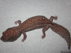 african-fat-tail-patterness-gecko-female