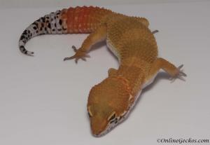 leopard-gecko-for-sale-blood-super-hypo-tangerine-male-M17F69082817M