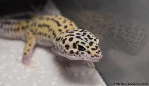 leopard-gecko-for-sale-eclipse-het-radar-M4F57070517M