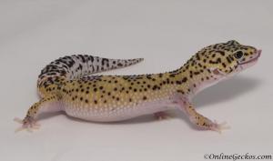 leopard-gecko-for-sale-eclipse-het-radar-M4F57070717F