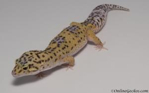 leopard-gecko-for-sale-eclipse-het-radar-female-M4F57070717F2