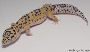 leopard-gecko-for-sale-eclipse-het-radar-female-M4F57071917F