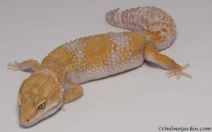 leopard-gecko-for-sale-giant-tangerine-tremper-albino-female-M1F30072717F-2