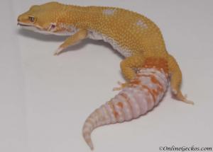 leopard-gecko-for-sale-giant-tremper-sunglow-female-M1F30070917F