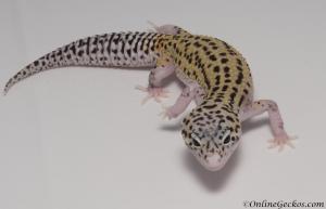 leopard-gecko-for-sale-mack-snow-eclipse-het-radar-female-M4F57081417F