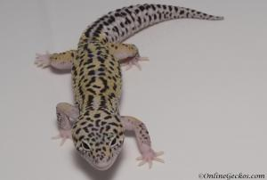 leopard-gecko-for-sale-mack-snow-eclipse-het-radar-male-M4F57080317M
