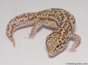 leopard-gecko-for-sale-mack-snow-radar-female-MSRADAR082416F