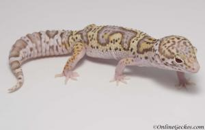 leopard-gecko-for-sale-mack-snow-radar-het-white-knight-female-M22F66092417F