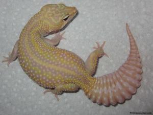 leopard-gecko-for-sale-mack-snow-raptor-female-120915