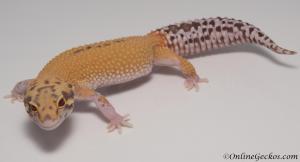 leopard-gecko-for-sale-radar-M4F53070317F