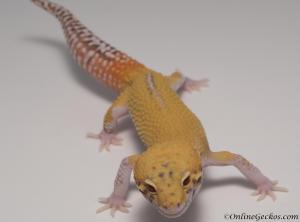 leopard-gecko-for-sale-radar-M4F53070317M