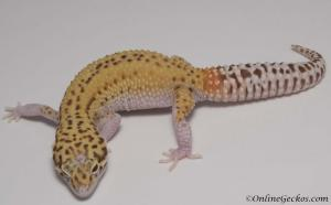 leopard-gecko-for-sale-radar-female-M4F53072517F-4