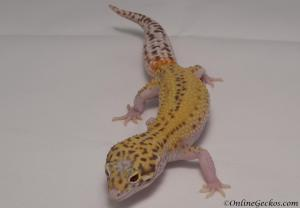 leopard-gecko-for-sale-radar-female-M4F53072517F