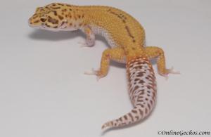 leopard-gecko-for-sale-radar-female-M4F53080817F