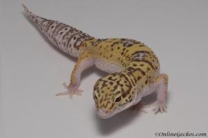leopard-gecko-for-sale-radar-het-blizzard-female-M22F66082517F