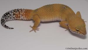 leopard-gecko-for-sale-tangerine-carrot-tail-baldy-female-M17F60080717F