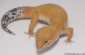 leopard-gecko-for-sale-tangerine-tornado-female-M17F56080817F2