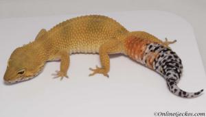 leopard-gecko-for-sale-tangerine-tornado-female-M17F77081917F