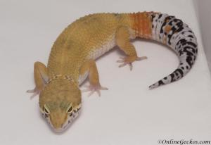 leopard-gecko-for-sale-white-and-yellow-het-radar-male-M17F62090517F