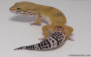 leopard-gecko-for-sale-white-and-yellow-male-M17F62081917